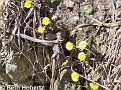 Coltsfoot001
